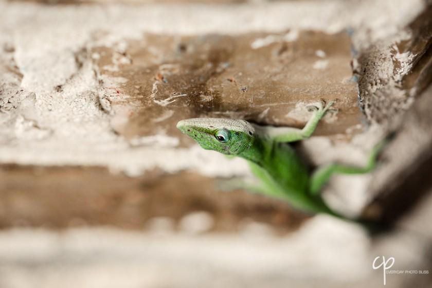 macro green chameleon photograph by Celeste Pavlik