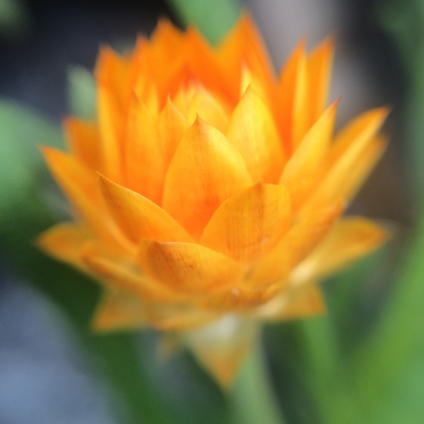 orange flower macro photo with iphone and olloclip by Caroline Jensen