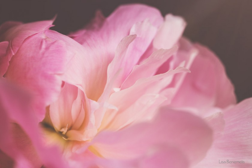 pink flower macro photo by Lisa Benemelis