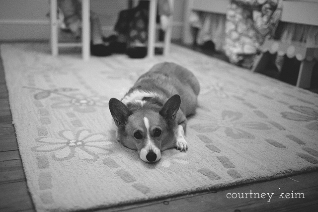 lifestyle pet corgi photography