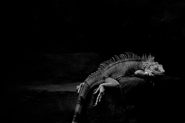 Black and white fine art lizard photograph by online photography workshop instructor elle walker