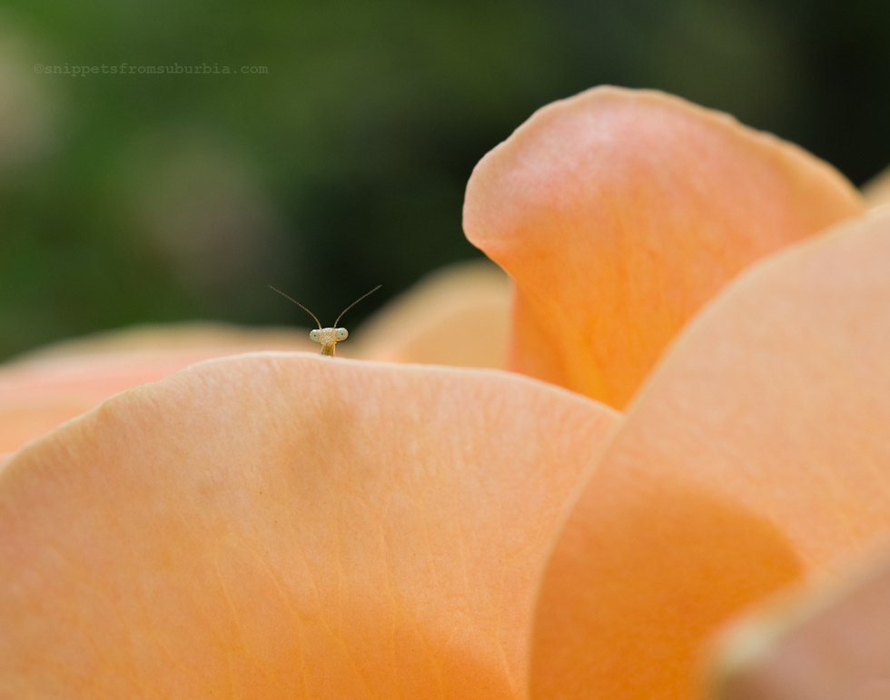 peek a boo praying mantis by Allison Zercher of Snippets from Suburbia