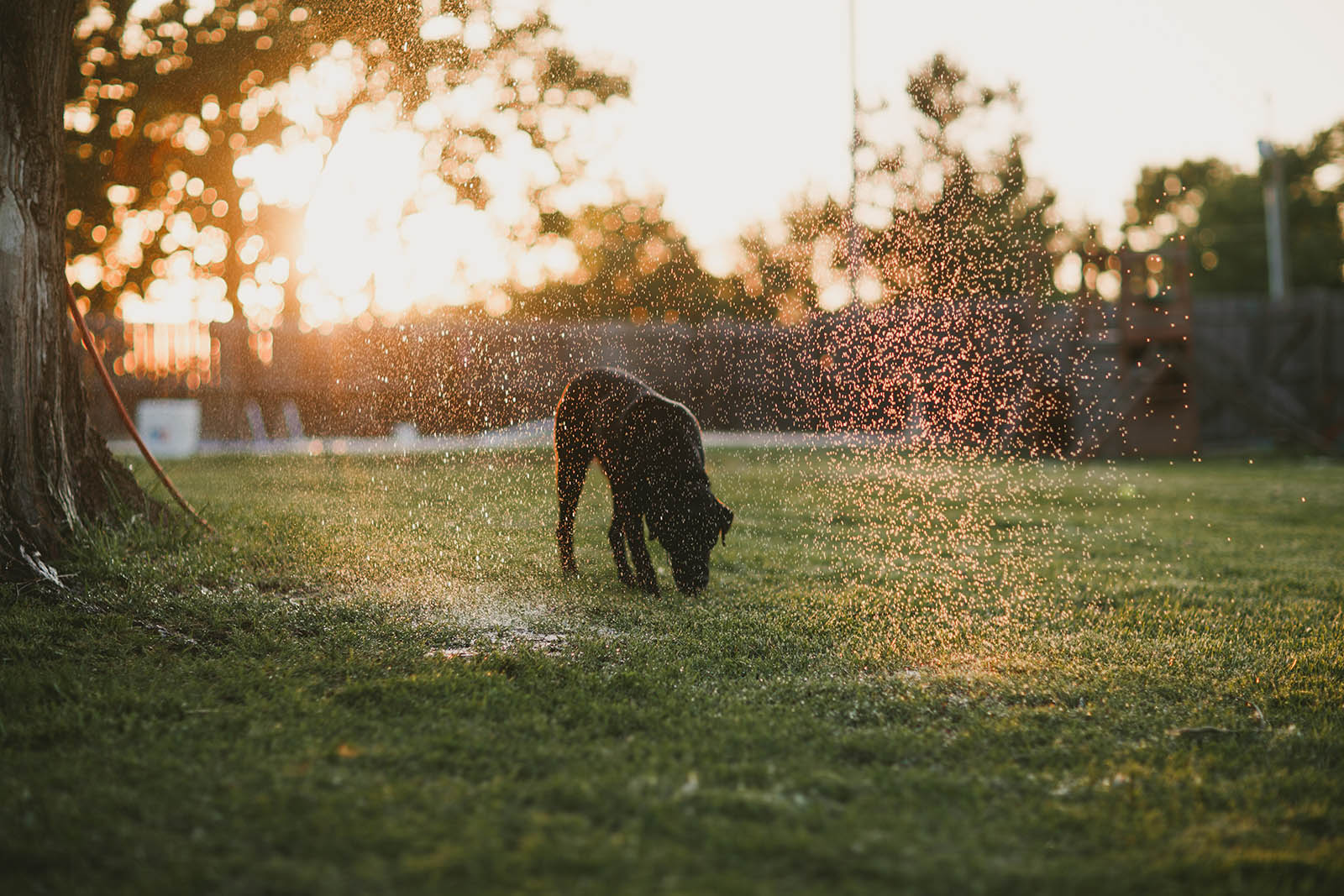 backlit photo of dog in the sprinkler by April Nienhuis
