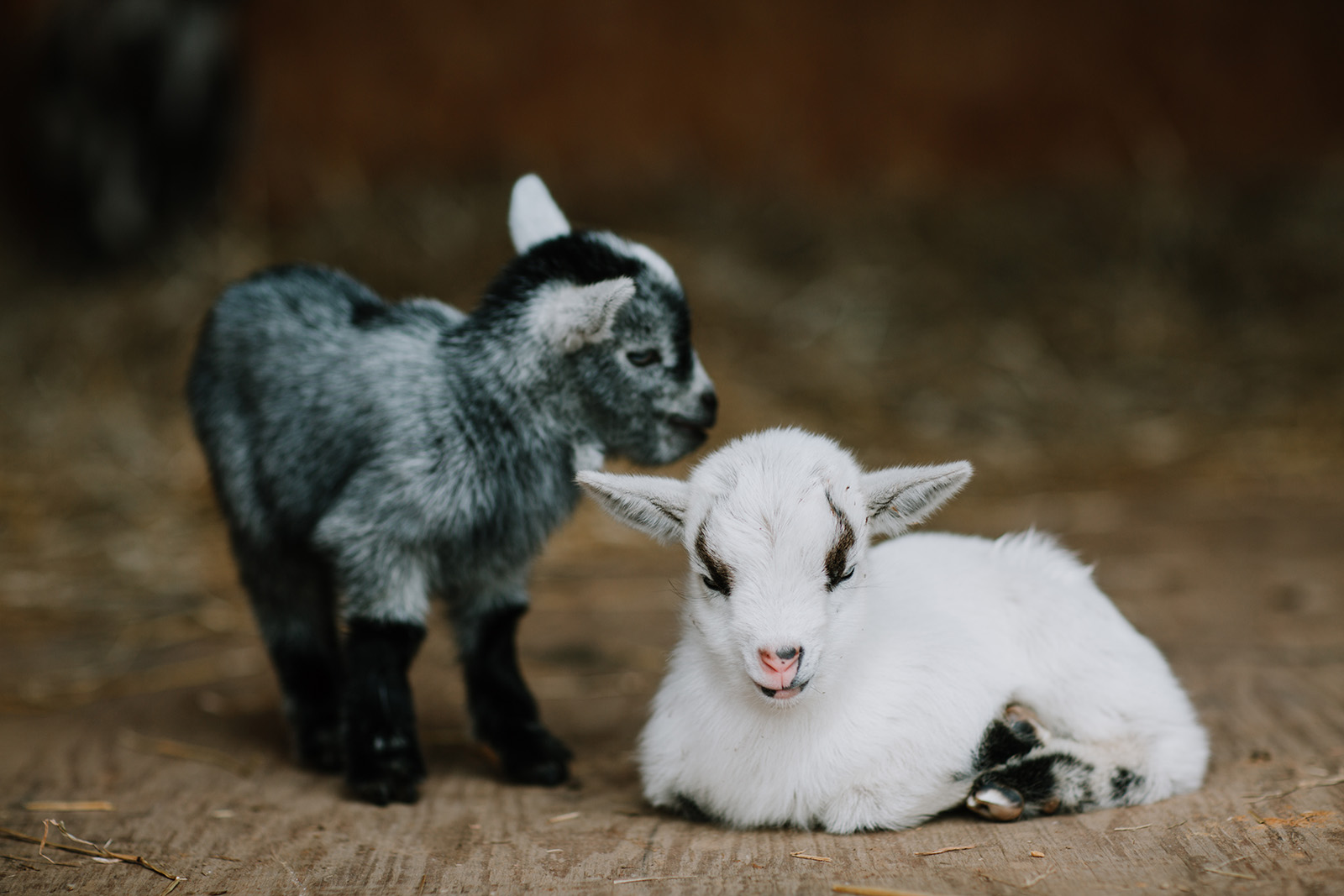 pic of two baby goats by April Nienhuis