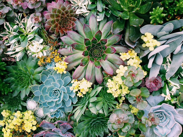 iphone succulents-