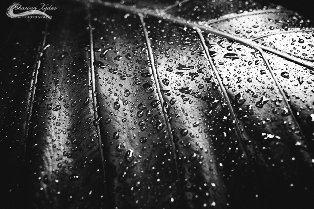 black and white water drops on leaf photo by chantell