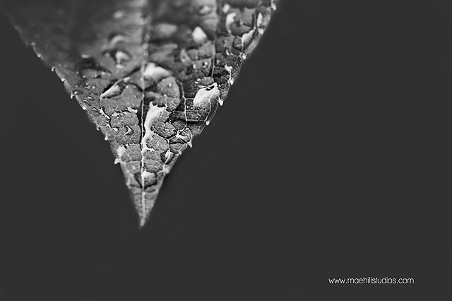 leaf covered in rain drops black and white photo by HeidiHoward