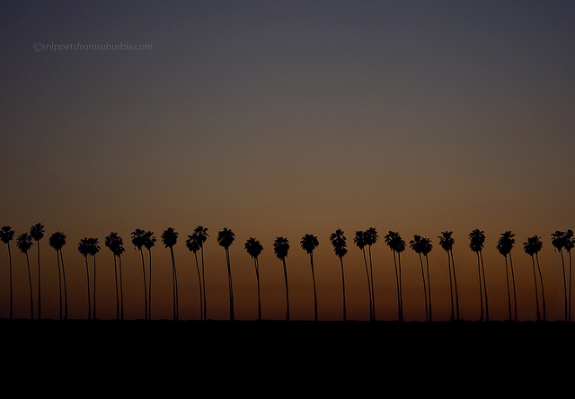 palm trees in California picture by Allison Zercher