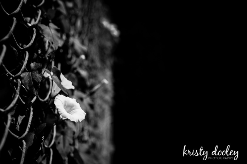 flower growing through a chain link fence photo by Kristy Dooley