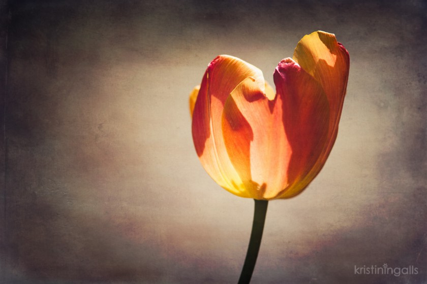 backlit tulip by Kristin Ingalls