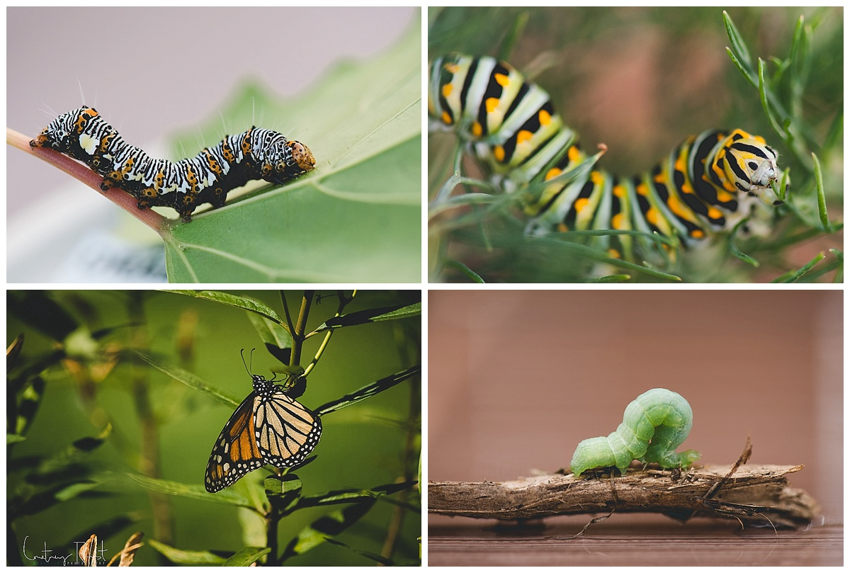 caterpillar pictures by Courtney Rust of Rusty Lens Photography