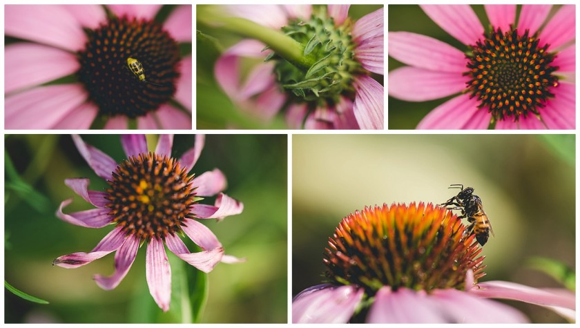 echinacea photos by Courtney Rust of Rusty Lens Photography