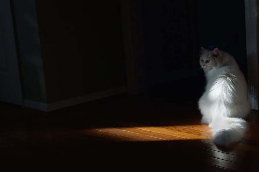 Pretty-White-Cat-Sitting-in-Warm-Pocket-of-Light-by-JennyW