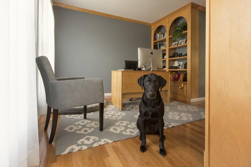 black lab sitting in office by Lisa Harrison-2