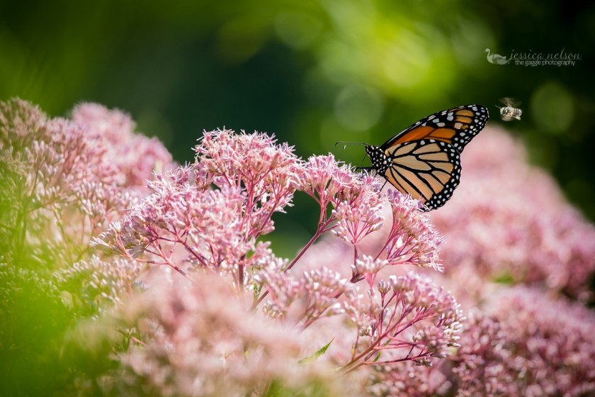 butterfly sitting on pink flowers by Jessica Nelson