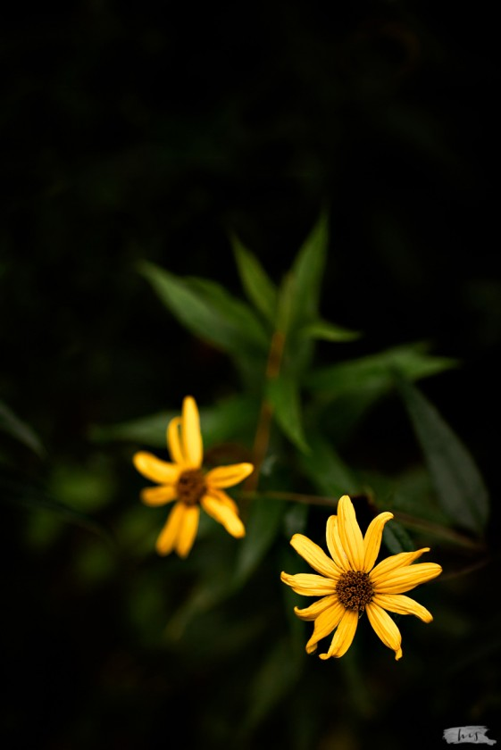 close up photo of two yellow flowers by Heather Stockett