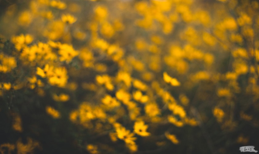 out of focus photo of yellow flowers by Heather Stockett