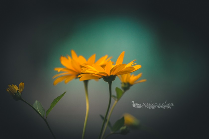 photo of a yellow flower against a blue background by Jessica Nelson