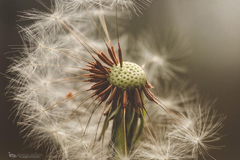 macro dandelion photo by Jessica Nelson