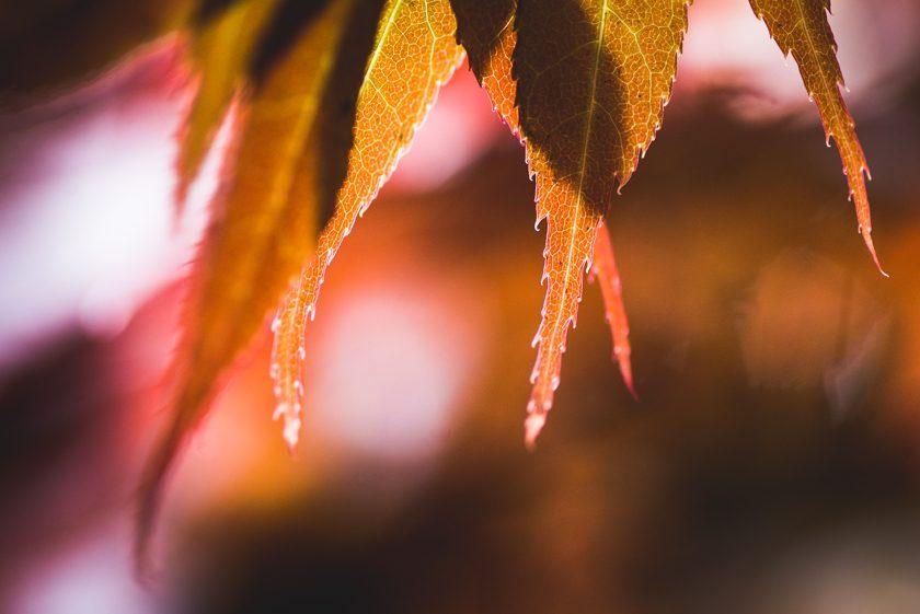 backlit fall leaves by Ebony Logins