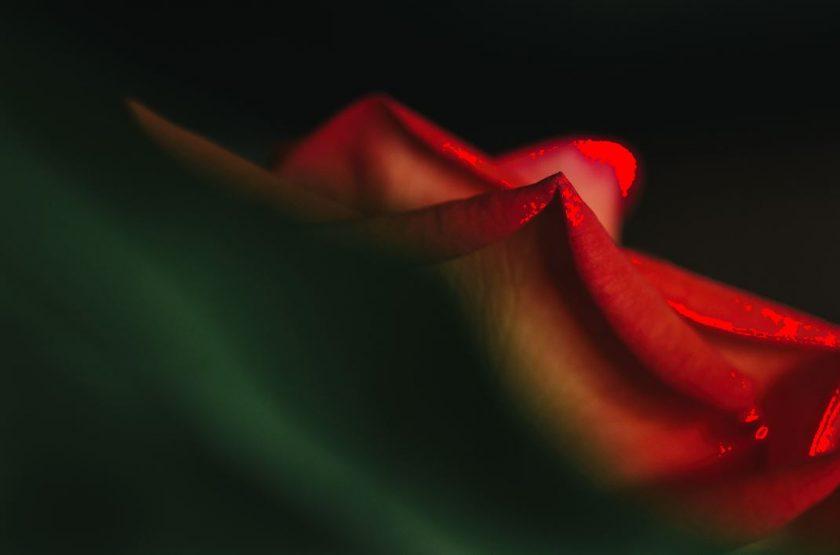 macro of red rose by Ebony Logins