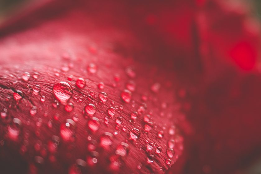 macro photo of water drops on a red flower by Tiffany Kelly