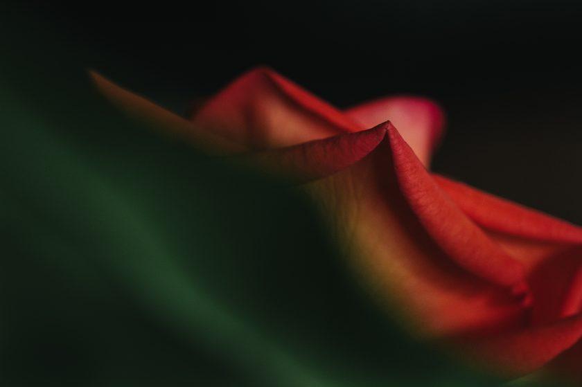 red rose macro pic by Ebony Logins