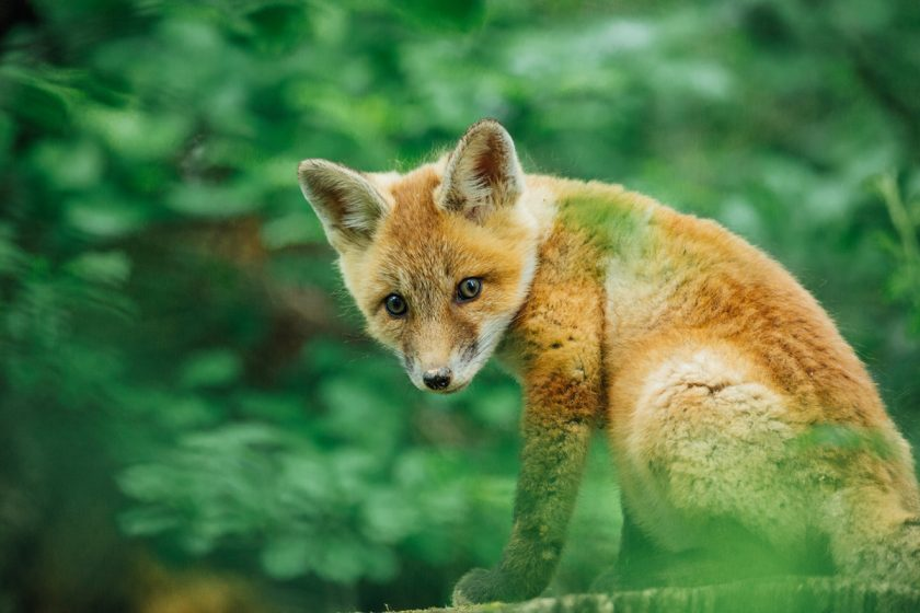 picture of a fox in the grass by Jessica Nelson