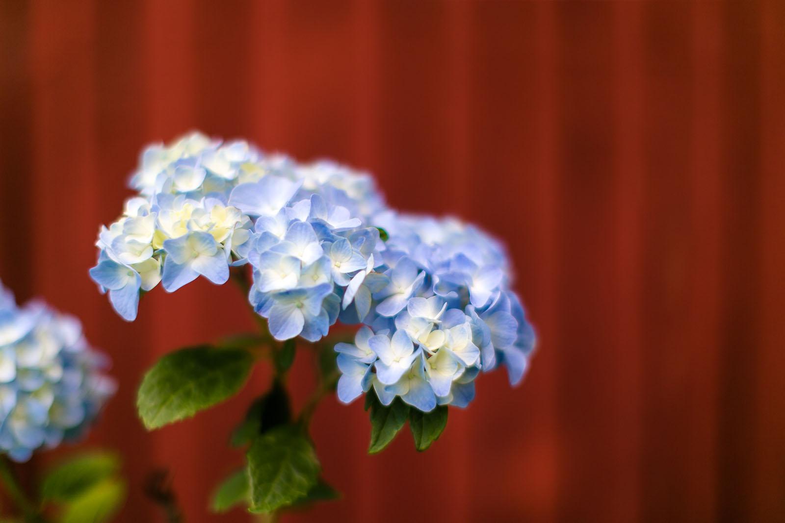 Blue Hydrangea Photo By Alicia Bruce Clickin Moms Blog Helping