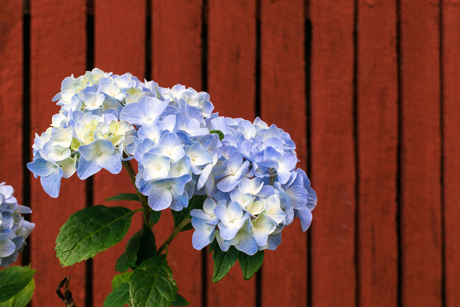 Picture Of Blue Hydrangea By Alicia Bruce Clickin Moms Blog