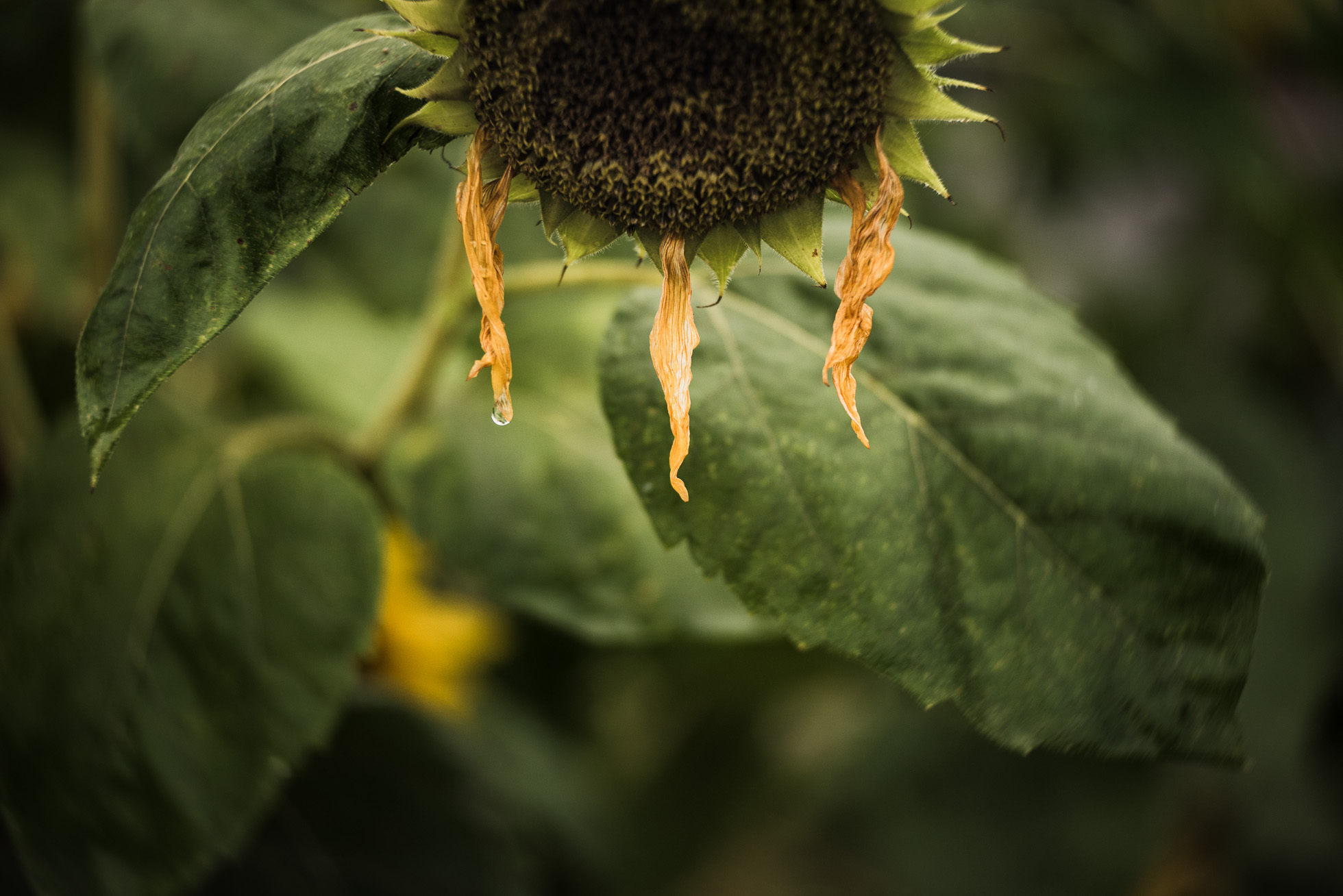 dying sunflower photo by Susan Bahen