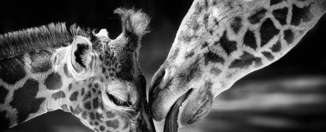 mother giraffe kissing baby giraffe