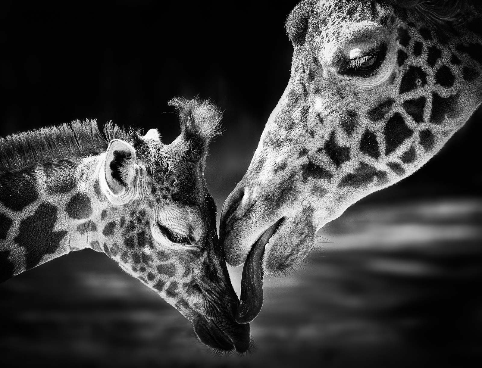 mother giraffe kissing baby giraffe