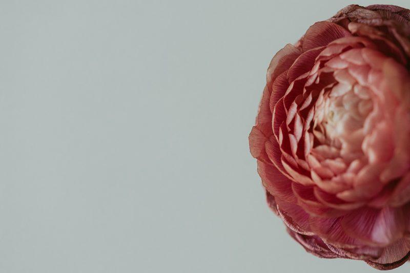 macro-flower-pink-right-composition-kristin-dokoza