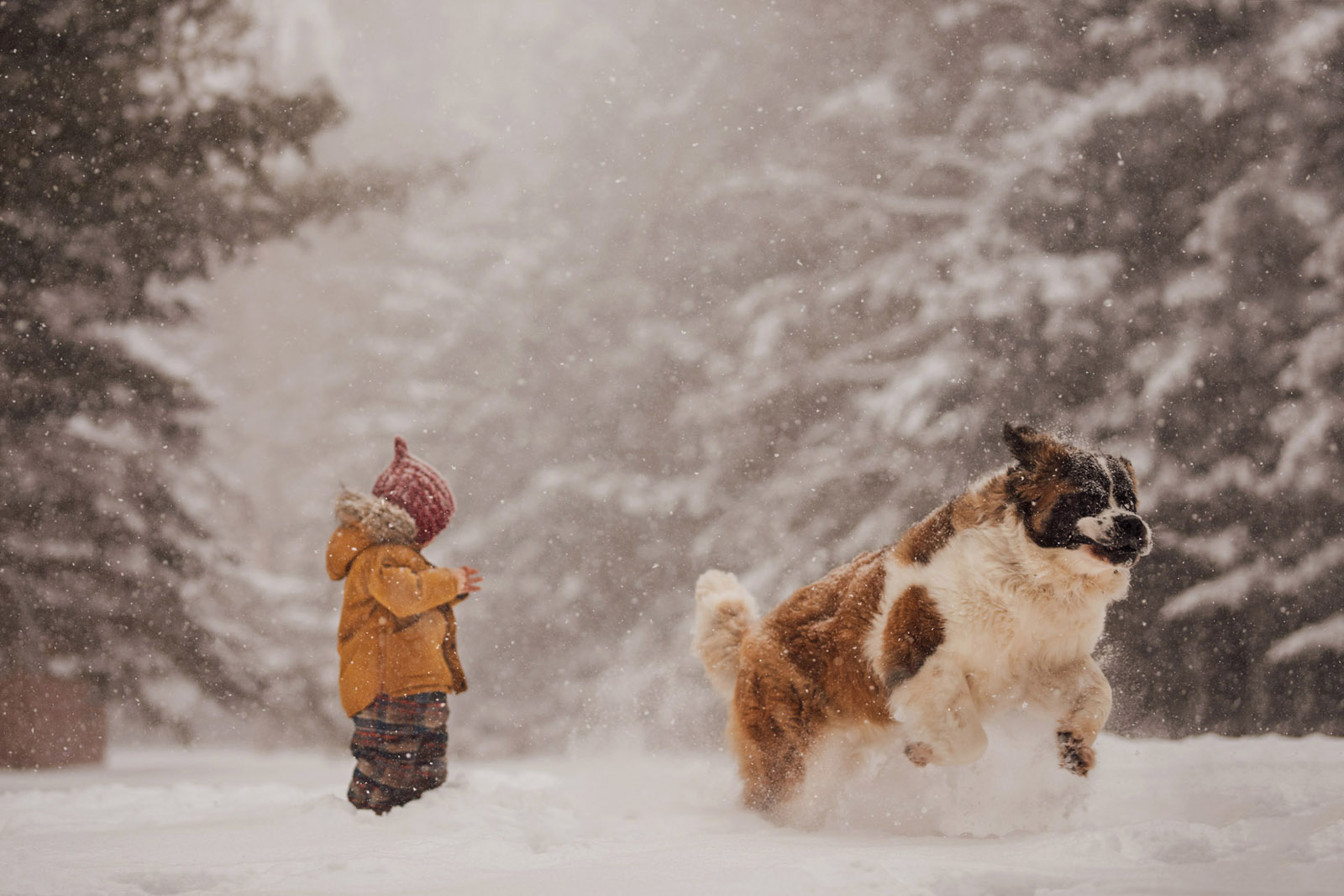 photographing pets boy and large dog st bernard playing in snow by meg loeks