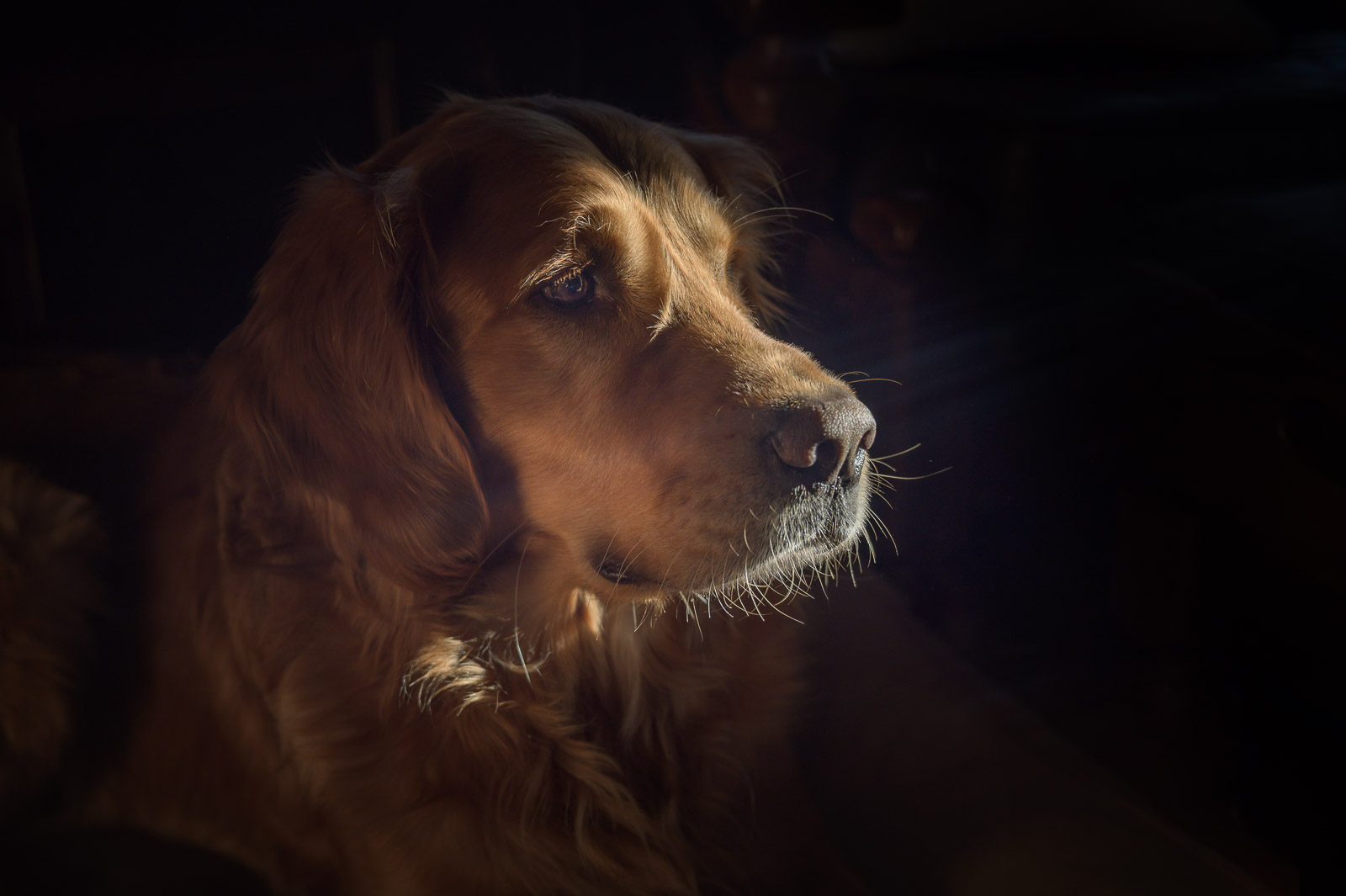 SueBahen_cm_blog_what_cm_means_to_me-9 golden retriever dog in window light