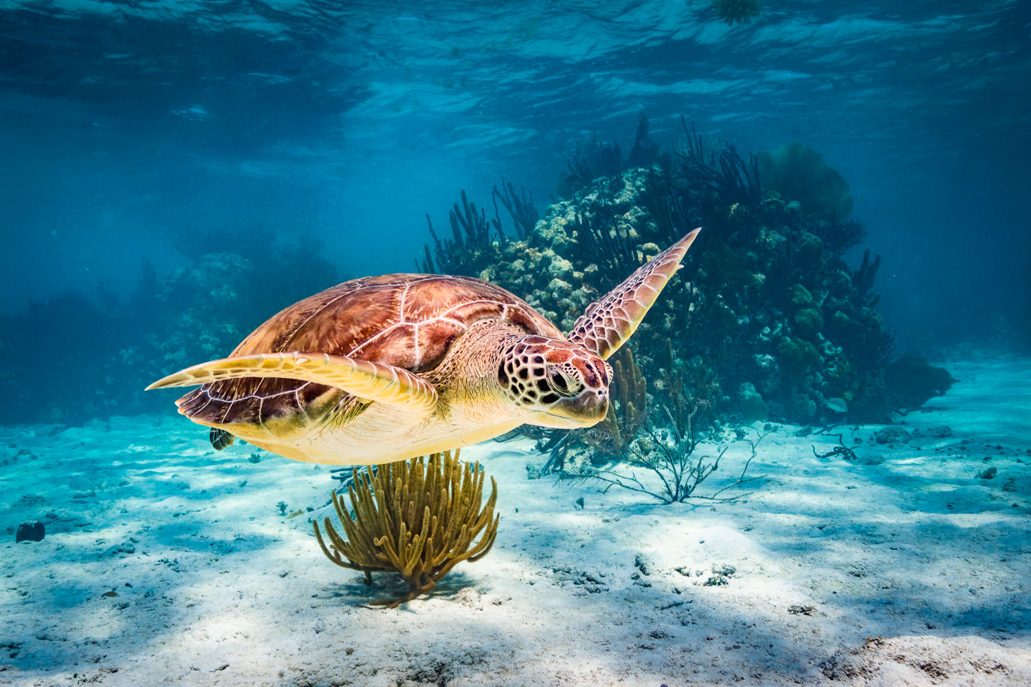 sea turtle swimming in blue water Snorkling Belize © Jennifer Carr Photography-206