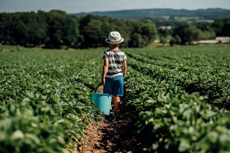 child picking berries by jenny rosenbring