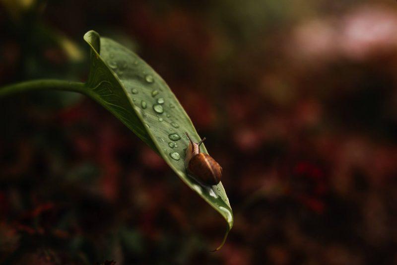 SarahGupta_macro photography snail on leaf with water dropletsjpg