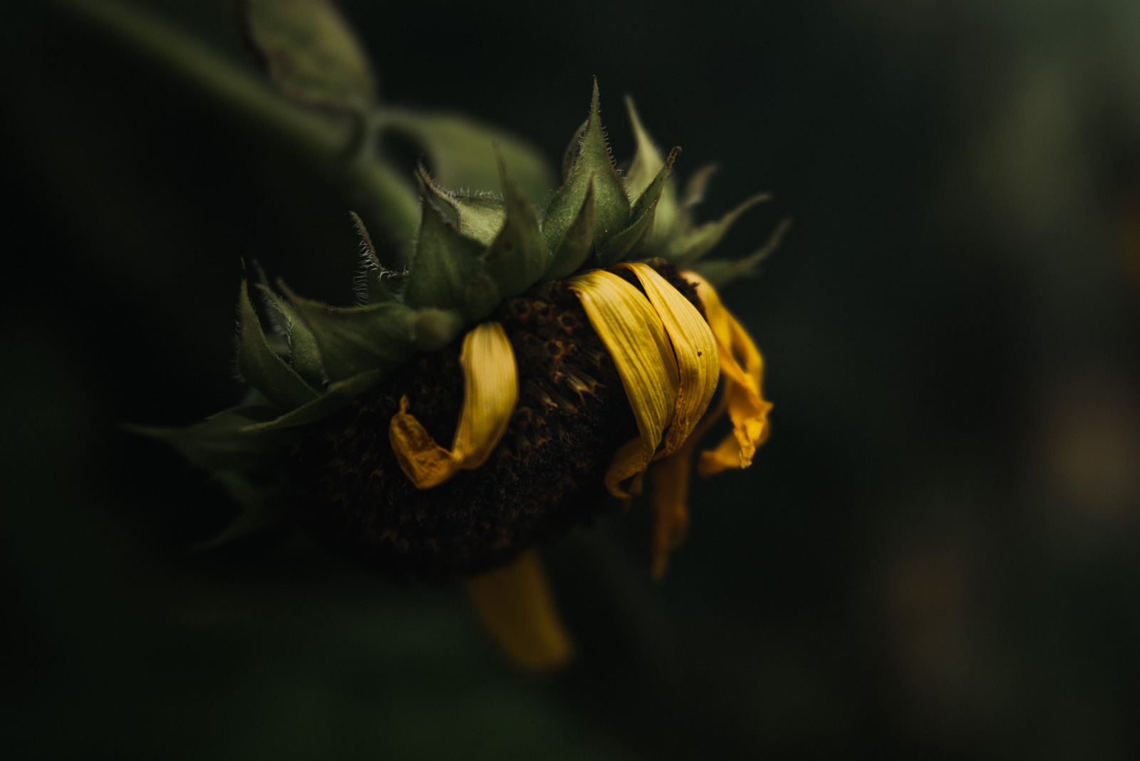 SarahGupta_macro photography sunflower wilted