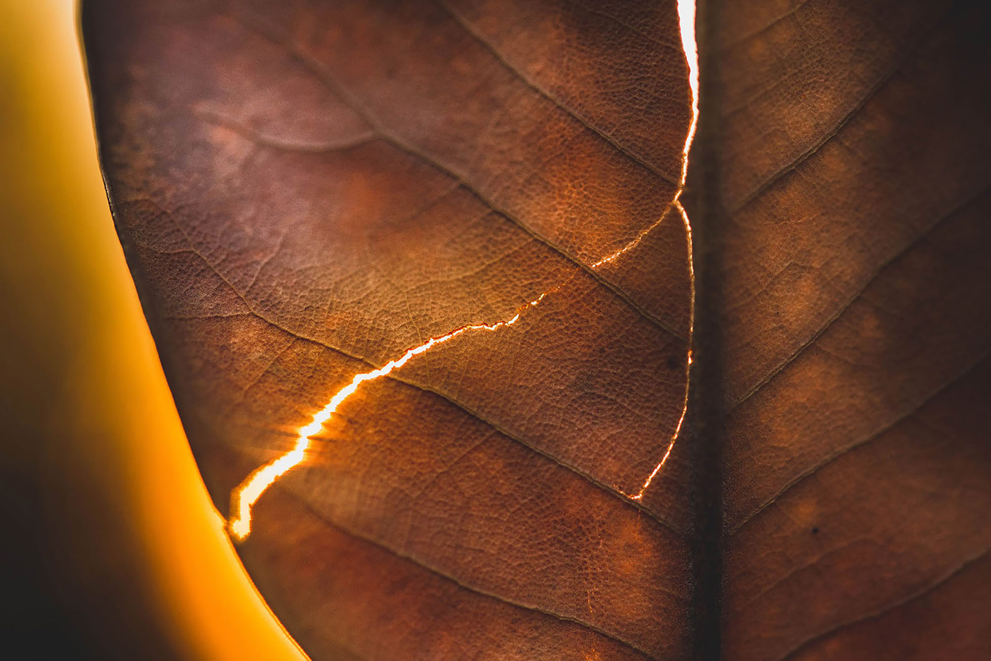 light peeking through crack in autumn leaf by jyo bhamidipati