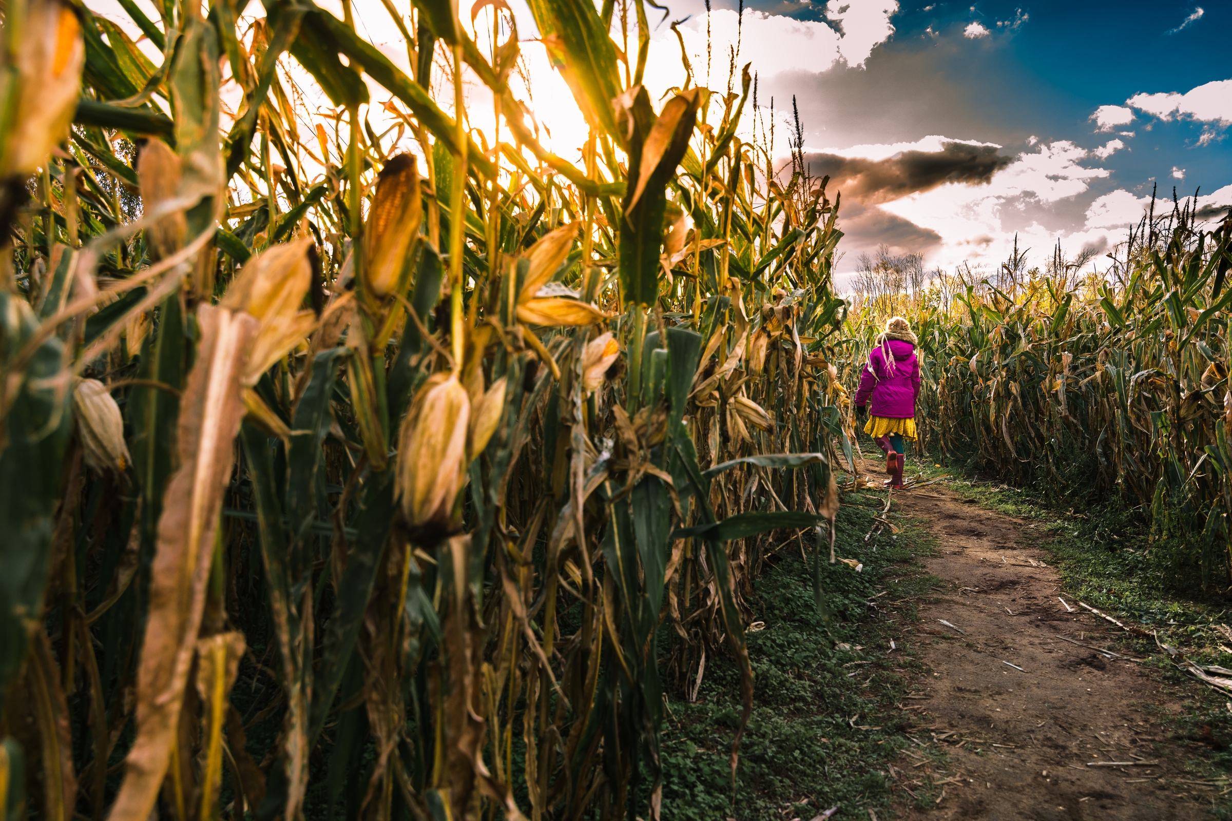 mickie_3 girl walking through field of corn maze fall activities by mickie devries