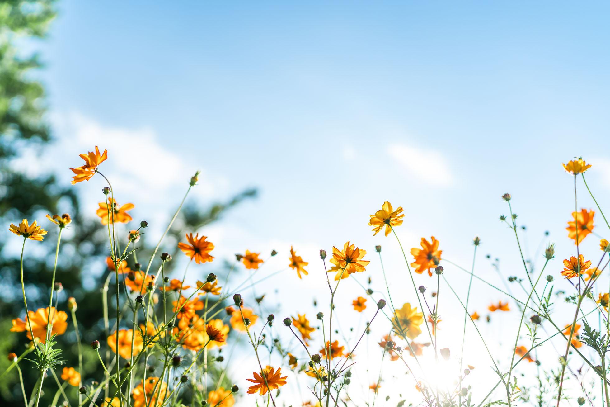 orange wildflowers against blue sky by jennifer carr