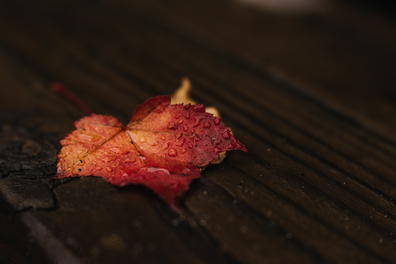photographing fall color red leaf with water droplets sarah gupta